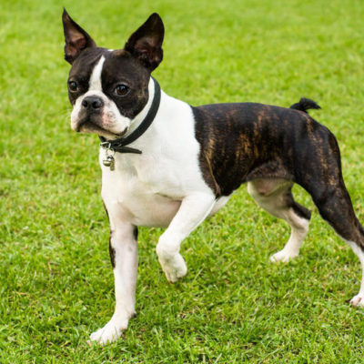 Are Boston Terriers a Good Family Pet? Yes