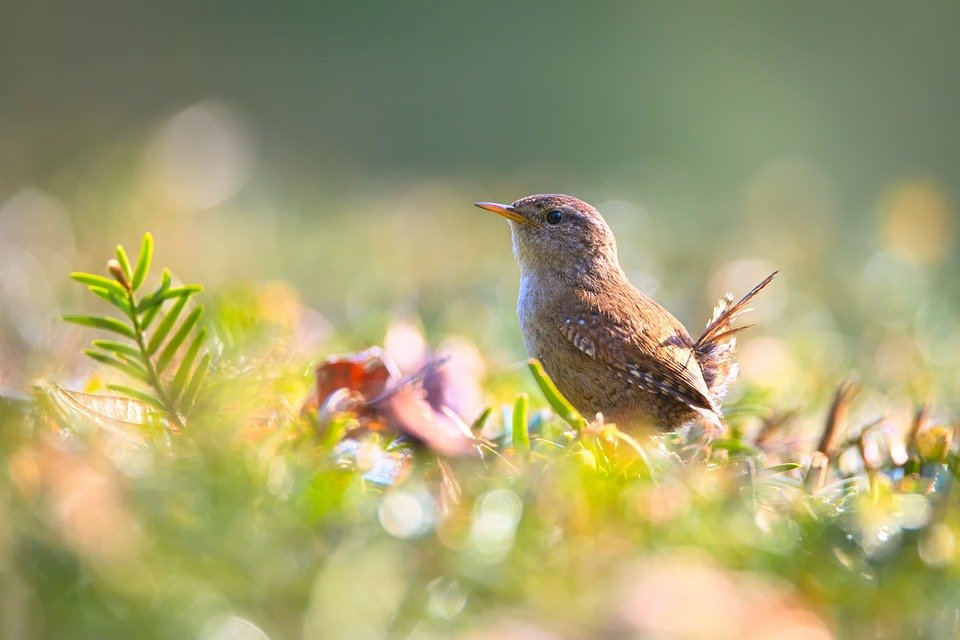 Wren, Bird, Small Bird, Garden, Nature